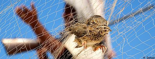 Zugvogelfang in Ägypten
