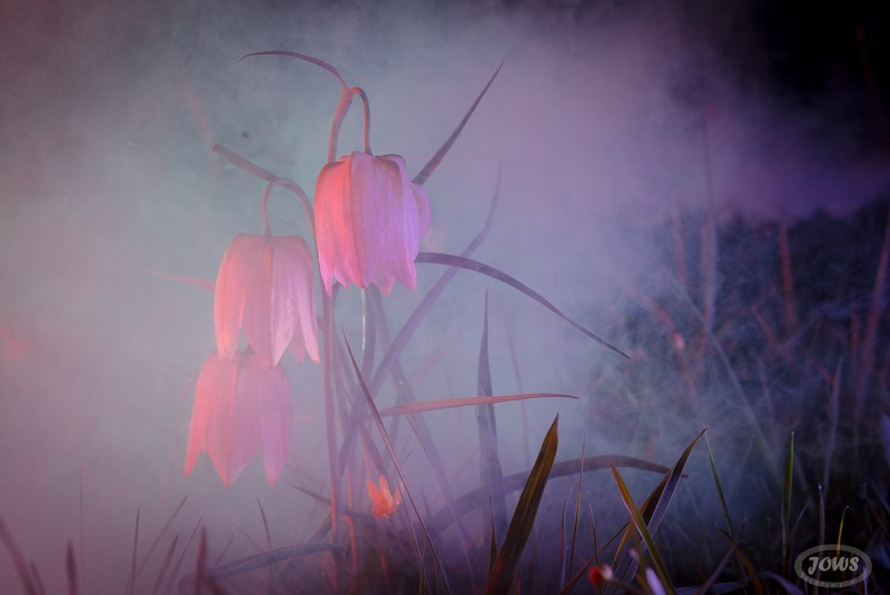 Blüte der Schachbrettblumen